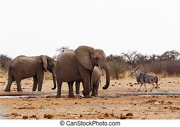 African elephants at a waterhole Etosha national Park,...