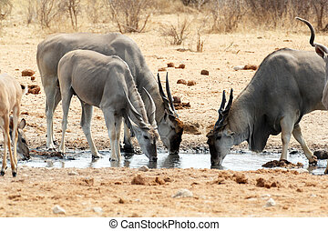 herd of eland drinking from waterhole - herd of cpmmon eland...