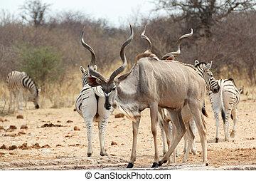 Kudu drinking from waterhole, Etosha national Park, Ombika,...