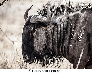 Wildebeest gnu profile - Detailed view of wildebeest gnu...