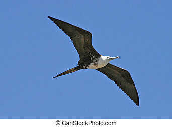 Magnificent Frigatebird - Fregata magnificens - female -...