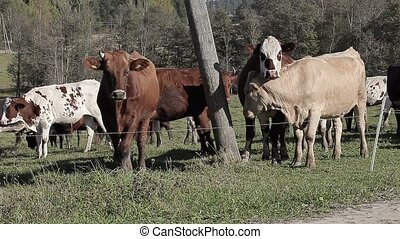 Cows graze in the meadow in autumn
