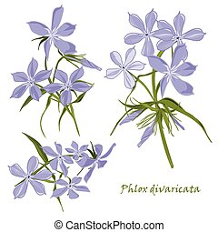 Set of flowers phlox divaricata with leafs in realistic...