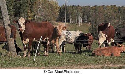 Cows frolics in meadow