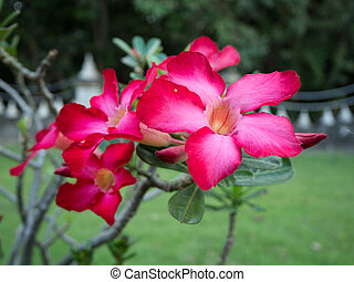 Red Desert Flower, adenium