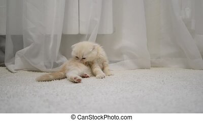 kitten with a flea itches sitting on a carpet in room -...