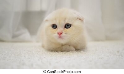 amusing kitten shakes his head lying on carpet in the room -...