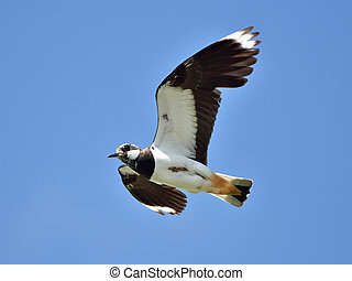 Northern Lapwing Vanellus vanellus - Northern Lapwing in...