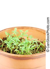 Young parsley plant on a terra cotta pot (white background)...