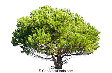 Stone pine, Pinus Pinea, isolated on white background -...