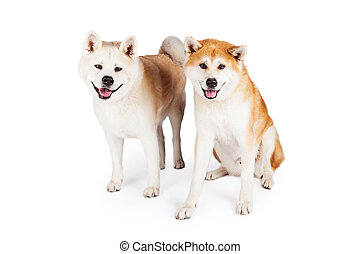Akita Dogs Over White Background