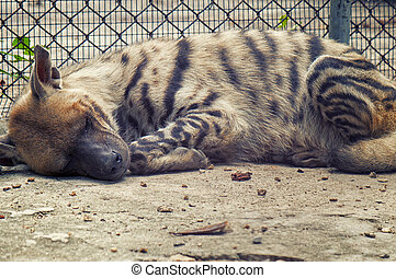Sleeping hyena  - Detail of a young hyena sleeping on a zoo