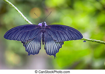 Common rose butterfly - Common rose (Pachliopta...