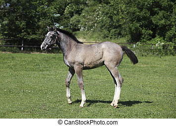 Grey foal with halters - a young white Holsteiner Warmblood...
