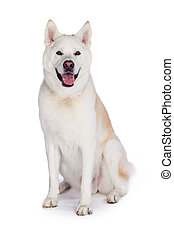 Akita Sitting Over White Background
