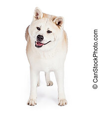 Akita Standing Isolated Over White Background