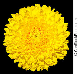 Yellow chrysanthemum golden-daisy flower macro photography...
