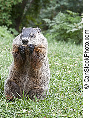 Groundhog eating a cookie. Nature and environmental...