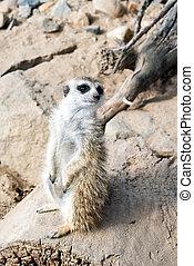 Meerkat or suricate - A meerkat suricate standing guard