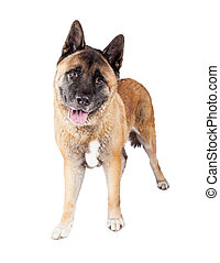Brown Akita Standing Over White Background