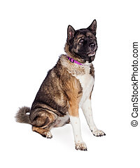 Brown And Black Akita Sitting Over White Background