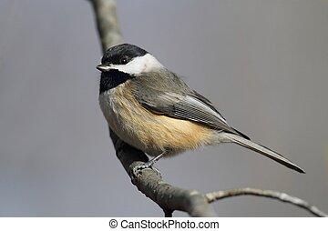 Carolina Chickadee on a Branch - Carolina Chickadee (Poecile...