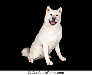 Happy Akita Dog Sitting Over Black Background