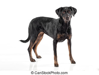 Cute black and tan dog standing facing the camera