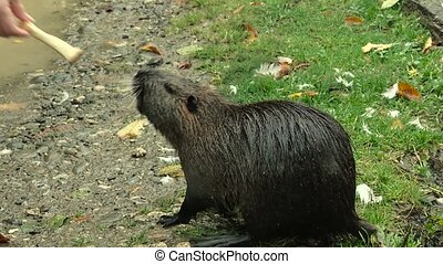 Cute wild furry coypus (river rat, nutria) eating bread on the riverside