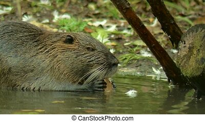Cute wild furry coypu river rat, nutria eating on riverside...
