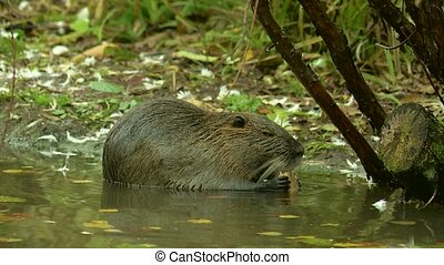 Cute wild furry coypu (river rat, nutria) eating on riverside near grass, close up