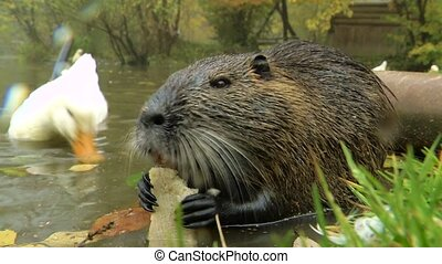 Cute wild furry coypus (river rat, nutria) eating bread on...