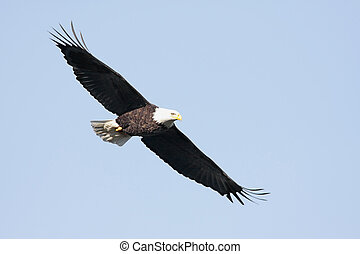Adult Bald Eagle (haliaeetus leucocephalus)