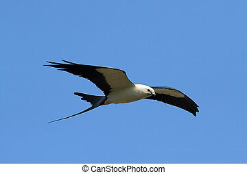 Swallow-tailed Kite (Elanoides forficatus) in flight hunting...