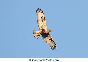 Rough-legged Hawk Buteo lagopus flying against a blue sky