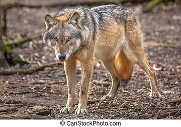 Frowning Grey Wolf - Big bad Eurasian Gray Wolf Canis lupus...