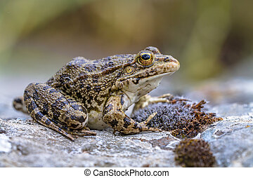 Southern European Levantine water frog - Levant water frog...