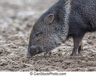Collared peccary (Tayassu tajacu or Pecari tajacu) looking...