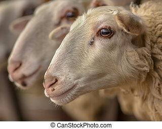 Bentheimer Sheep head - Portrait of beautiful Bentheimer...