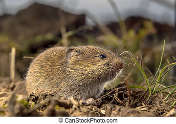 Common Vole in a field - Common Vole (Microtus arvalis) in...