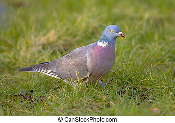 Common Wood Pigeon in grass