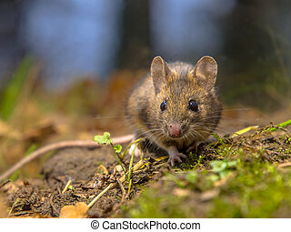Wood mouse in the forest - Wild wood mouse (Apodemus...