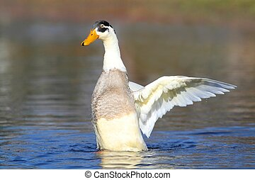 Male Indian Runner Duck in Blue Water - Male Indian Runner...