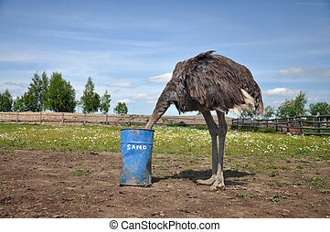 African ostrich hiding its head in the sand - The comic...
