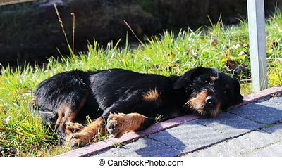 Homeless dog lying beside the road - Black dog lying on...