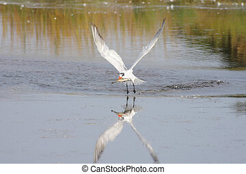 Caspian Tern Sterna caspia in flight over a pond