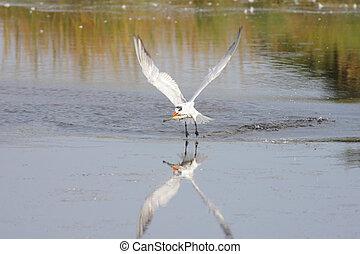 Caspian Tern (Sterna caspia) in flight over a pond