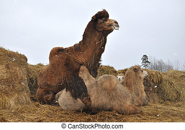 Courtship games Bactrian camels - Pairing domestic Bactrian...