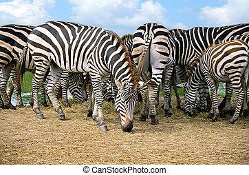 Cluster of Zebra on dry grassland.