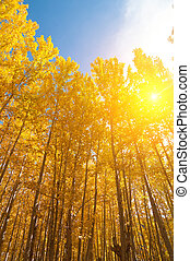Aspen Trees in fall seasons